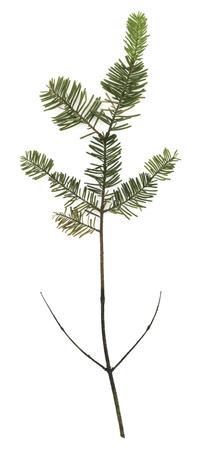 고립 된 고귀한 전나무 나뭇 가지 스톡 콘텐츠