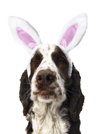English Springer Spaniel isolated With Easter rabbit ears. Stock Photo