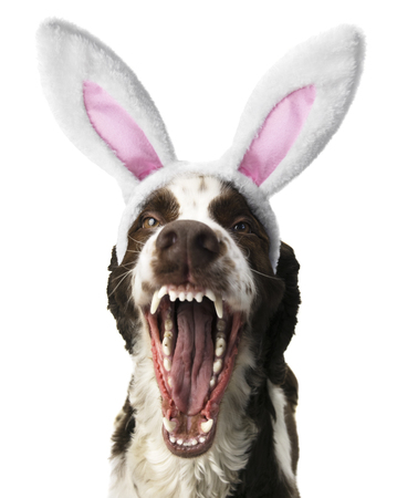 Springer Spaniel With Open Mouth and Bunny Ears