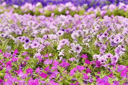 色とりどりのペチュニアの花 写真素材