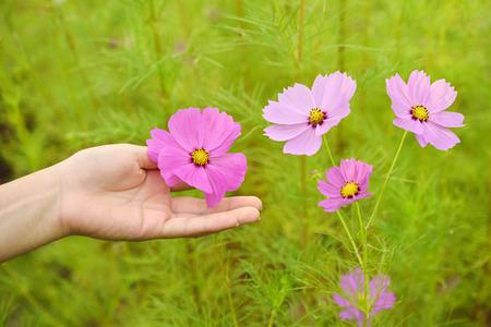 コスモスの花と女の手 写真素材