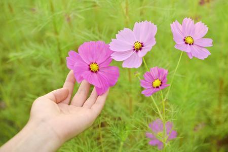 コスモスの花と女性の手 写真素材 - 87745168