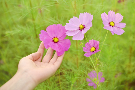 Cosmos flowers and womens hand