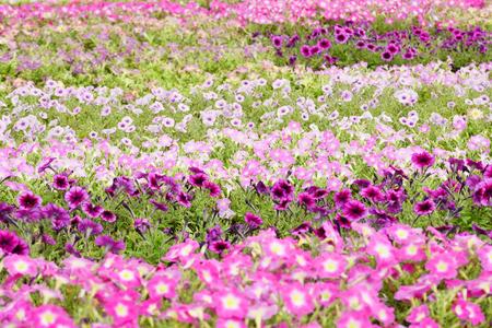 色とりどりのペチュニアの花 写真素材 - 88279271