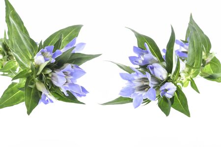 Blue gentian flowers on white background. Stok Fotoğraf