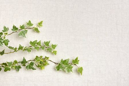 Ivy on a cloth background.