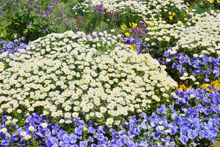 Beautiful spring flowers, Margaret, Pansy 写真素材