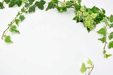 Botanical frame : Ivy on a white background. 写真素材