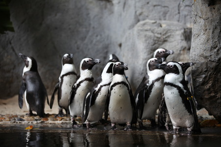 northpole: Penguins Stock Photo