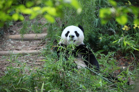 munching: Cute Panda Eating Stock Photo