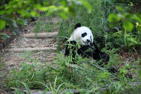 munching: Cute Panda Stock Photo