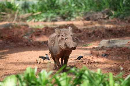 chasing tail: Wild Boar