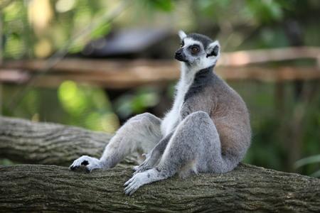 omnivore animal: Lemur Stock Photo