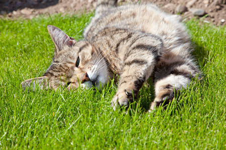 lounging: Cat lounging on a lawn