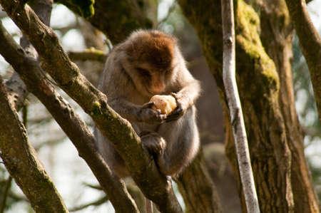 Barbary monkey eating photo