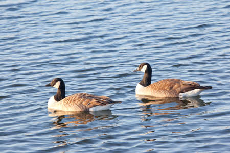 Pair of canadian geese on the water photo