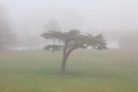 cedar tree: Foggy pond in autumn