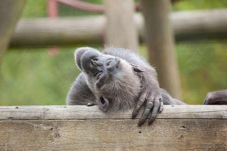 lounging: Chimpanzee lounging in captivity