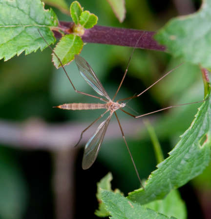 Crane fly taken with a macro lens photo