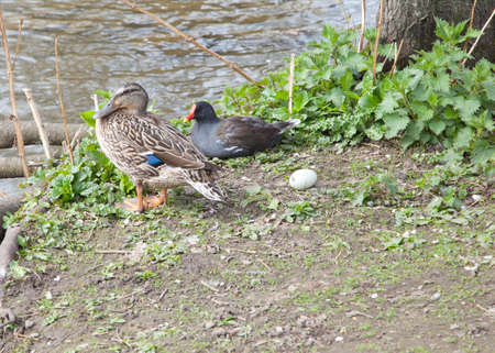 Moorhen and a duck photo