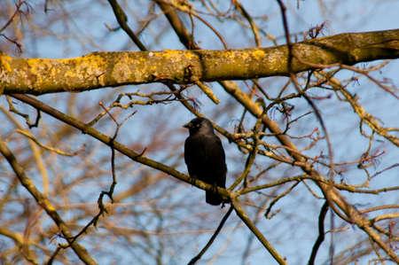 jackdaw: Jackdaw in a tree Stock Photo