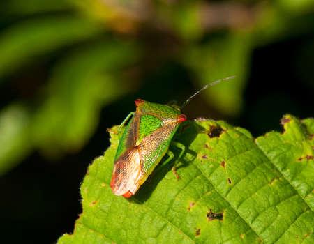 tufo: Stink bug insecto sobre una hoja