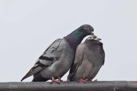 preening: Pigeons on a rooftop preening