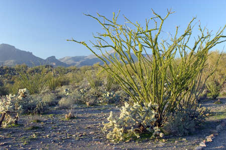 sonora: Ocotillo Cactus in Sonora Desert with Mountains in the Background