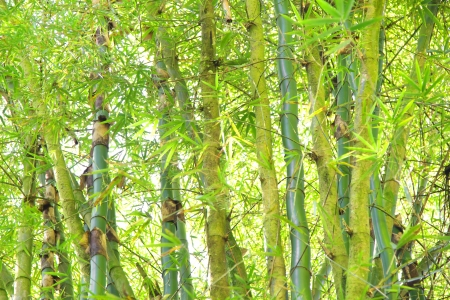 asien: Wild Bamboo in the rain forest - texture in green for a background