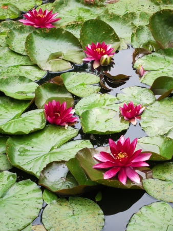 Water lilies in pond - tropical plants Stock Photo - 24697064