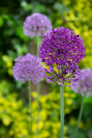 herbaceous border: Allium flowers blossoming in the garden. Stock Photo