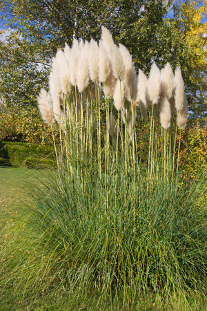 Pampas grass in the garden. photo