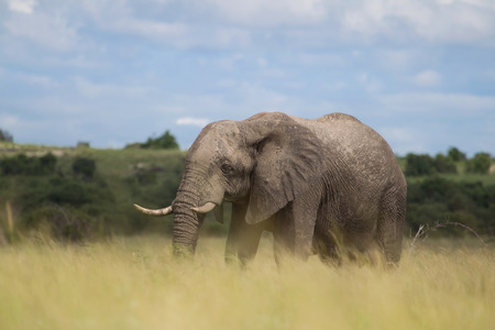 Portrait: African elephant in the rainy season in South Africa. Stock Photo
