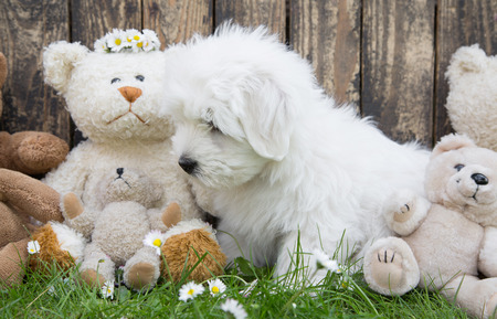 maltese dog: Little baby dog like a maltese playing with teddy bears in the garden  Stock Photo