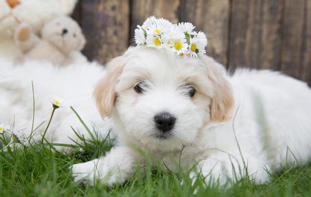 white maltese: Portrait  Original Coton de Tuléar baby dog lying in the green - soft like cotton