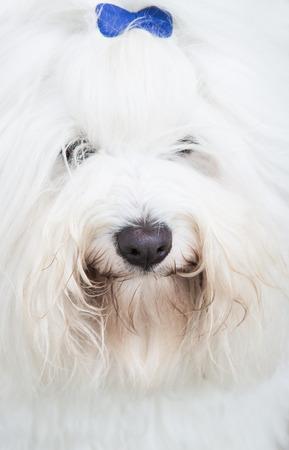 ar: Portrait  Head of an original Coton de Tuléar dog - pure white like cotton