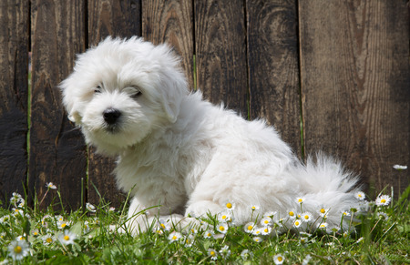maltese dog: Portrait of a little baby dog  Coton de Tuléar  Stock Photo