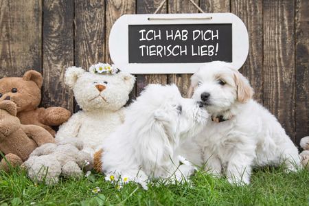 Two little baby dogs kissing: funny greeting card for wedding or valentines day. Race: Coton de Tulear. photo