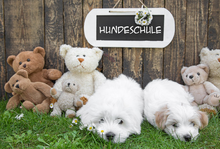 Dog school for little puppies: Coton de Tulear with a wooden sign for messages.  Also a funny greeting card or a board for advertising with german text. photo