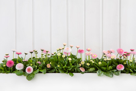 White wooden shabby chic spring background with pink daisy flowers. Standard-Bild