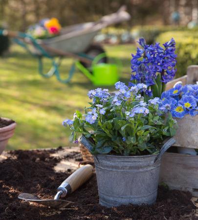Printemps: Jardinage avec des fleurs de primevère, la jacinthe et forget-me-pas dans les couleurs bleu. Banque d'images