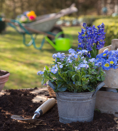 Spring: Gardening with flowers of primula, hyacinth and forget-me-not in blue colors.