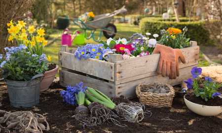 Spring: Gardening in autumn with flowers of primula, hyacinth and forget-me-not. Country life at home. Stock Photo