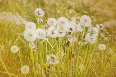 Dandelion blowball in springtime.