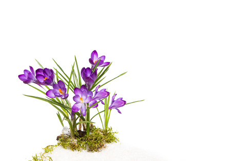 Isolated purple violet spring flower. Crocus.