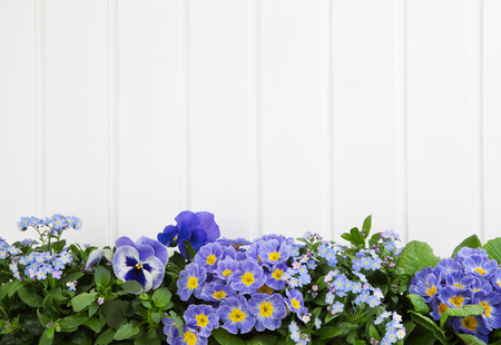 Blue spring flowers on wooden white background.