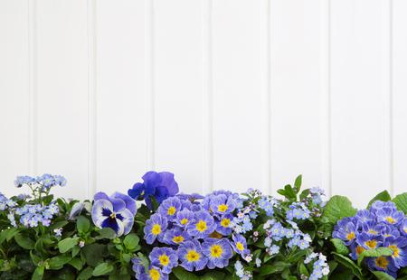 fleurs printanières bleu sur fond blanc en bois. Banque d'images