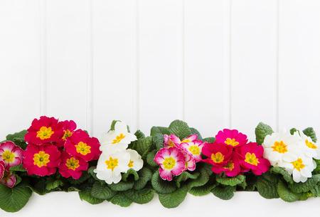 primevère Rouge et rose sur fond de bois blanc pour le printemps.