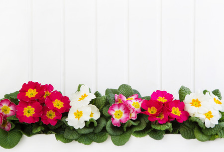 Red and pink primula on white wooden background for springtime. Imagens