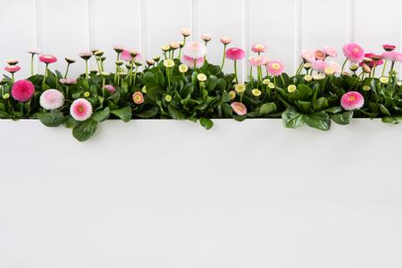 Daisy rose fleurs de printemps rouge sur fond de bois blanc pour la décoration. Banque d'images